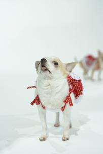 舌を出す洋服を着た犬の写真素材 [FYI00094143]