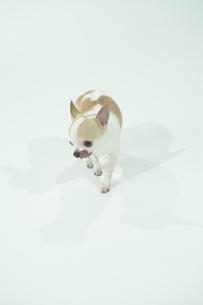 舌を出す犬の写真素材 [FYI00094147]