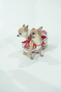 洋服を着た2匹の犬の写真素材 [FYI00094156]
