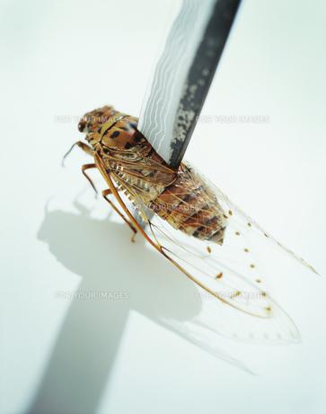 ナイフに刺された蝉の写真素材 [FYI00094184]