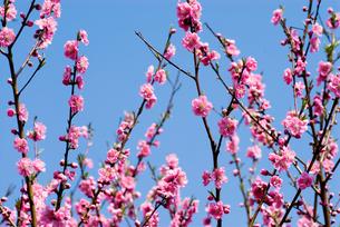 花桃の花と青空の写真素材 [FYI00094241]