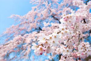 枝垂桜の花と青空の写真素材 [FYI00094253]