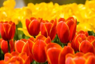 チューリップの花畑の写真素材 [FYI00094256]