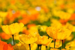 アイスランドポピーの花畑の写真素材 [FYI00094266]