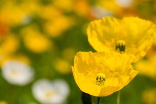 アイスランドポピーの花の写真素材 [FYI00094280]