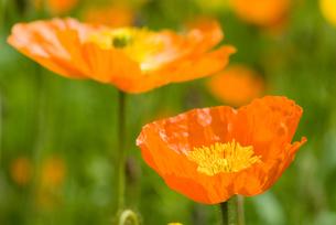 アイスランドポピーの花の写真素材 [FYI00094284]