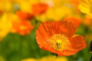 アイスランドポピーの花の写真素材 [FYI00094285]