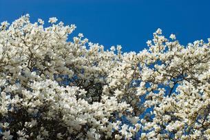 満開のハクモクレンの花の写真素材 [FYI00094290]