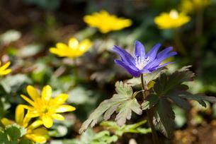 キクザキイチゲとヒメリュウキンカの花の写真素材 [FYI00094292]