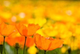 アイスランドポピーの花畑の写真素材 [FYI00094297]