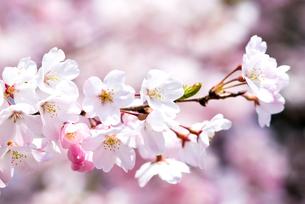 満開のソメイヨシノの花の写真素材 [FYI00094299]