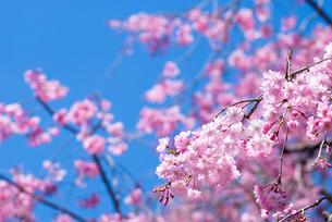 満開の紅枝垂桜の花の写真素材 [FYI00094300]