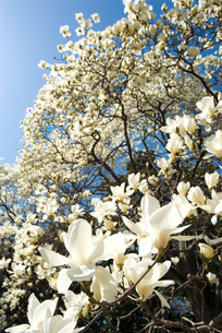 満開のハクモクレンの花の写真素材 [FYI00094306]
