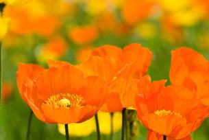 アイスランドポピーの花の写真素材 [FYI00094310]
