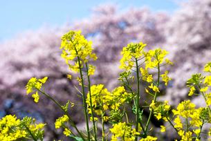 桜をバックに菜の花の写真素材 [FYI00094311]
