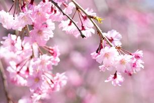 満開の紅枝垂桜の花の写真素材 [FYI00094312]