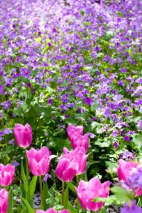 チューリップとオオアラセイトウのお花畑の素材 [FYI00094313]