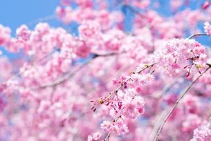 満開の紅枝垂桜の花の写真素材 [FYI00094314]