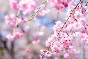 満開の紅枝垂桜の花の写真素材 [FYI00094317]