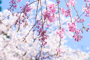 紅枝垂桜の花の写真素材 [FYI00094318]