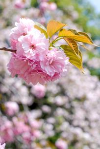 満開のサトザクラの花の写真素材 [FYI00094320]