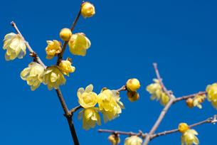 ロウバイの花と青空の写真素材 [FYI00094322]