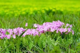 野生の桜草の花の写真素材 [FYI00094326]