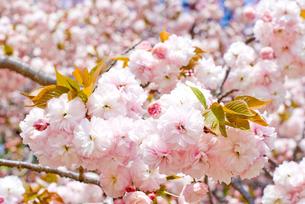 満開のサトザクラの花の写真素材 [FYI00094327]