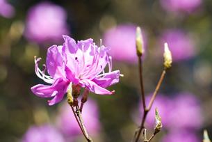 ミツバツツジの花の写真素材 [FYI00094330]
