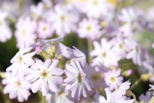 雲南桜草(アンシャンスイ)の花の写真素材 [FYI00094333]