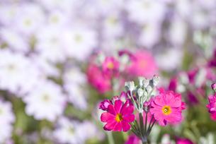 プリムラ・マラコイデスの花の写真素材 [FYI00094334]