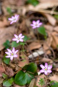 ミスミソウの花の写真素材 [FYI00094337]