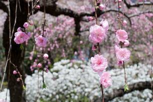 枝垂桃の花の写真素材 [FYI00094340]