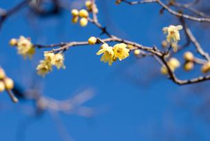 ロウバイの花と空の写真素材 [FYI00094341]