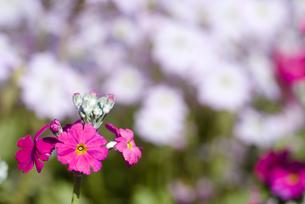 プリムラ・マラコイデスの花の写真素材 [FYI00094346]