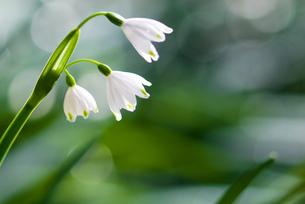 スノーフレークの花の写真素材 [FYI00094350]
