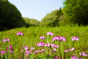 休耕田のレンゲの花の写真素材 [FYI00094351]