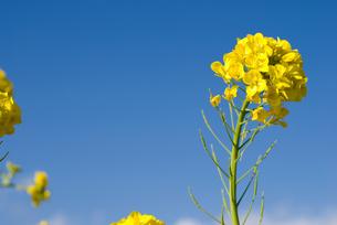 菜の花と青空の写真素材 [FYI00094352]