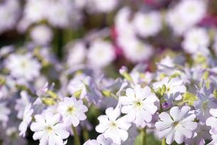 雲南桜草(アンシャンスイ)の花の写真素材 [FYI00094357]
