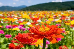 百日草のお花畑の写真素材 [FYI00094361]
