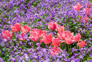 チューリップとオオアラセイトウのお花畑の素材 [FYI00094366]