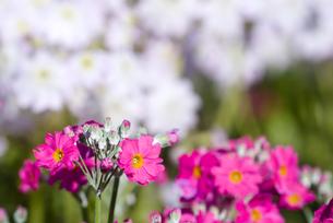 プリムラ・マラコイデスの花の写真素材 [FYI00094371]