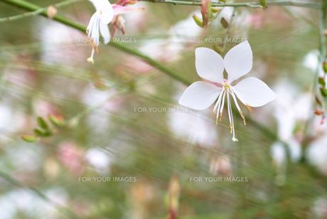 ハクチョウソウの花の素材 [FYI00094409]