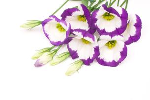 トルコキキョウの花の写真素材 [FYI00094416]