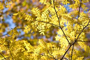 サンショウの黄葉の写真素材 [FYI00094424]