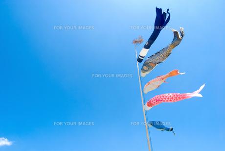 鯉のぼりと青空の写真素材 [FYI00094428]