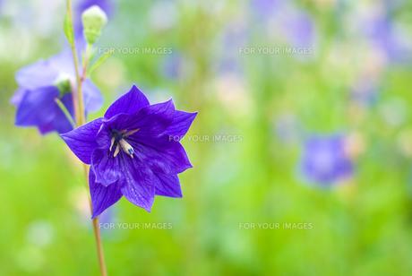 キキョウの花の写真素材 [FYI00094467]