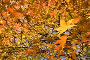 モミジバフウの紅葉の写真素材 [FYI00094536]