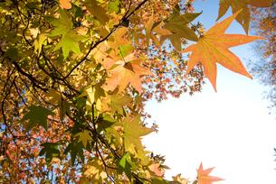 モミジバフウの紅葉の写真素材 [FYI00094542]
