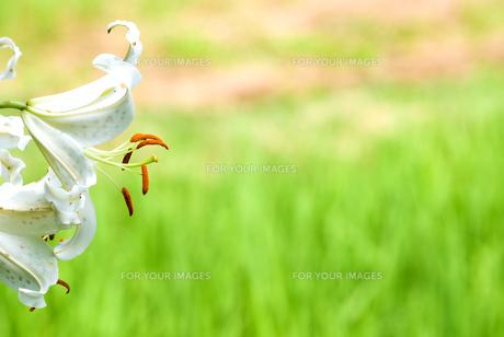 田の脇に咲くヤマユリの花の写真素材 [FYI00094586]